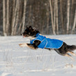 Border Collie run in winter — Stock Photo
