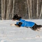 Border Collie run in winter — Stock Photo