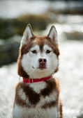 Husky sibérien — Photo