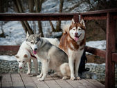 Siberian husky — Stockfoto