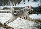Husky jumps — Stock Photo