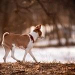 Basenji walks — Stock Photo