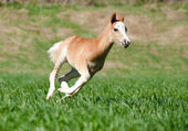 Foal runs — Stock Photo