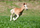 Foal runs — Stock Photo