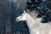 Arabisches pferd — Stockfoto