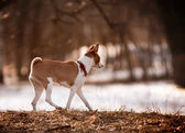 Basenji walks — Foto Stock