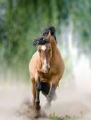 Bay stallion in dust — Foto de Stock