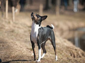 Tricolor basenji — Photo