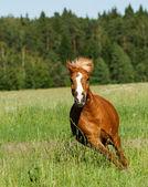 Pony runs — Stock Photo