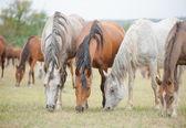 Koni czystej krwi arabskiej — Zdjęcie stockowe