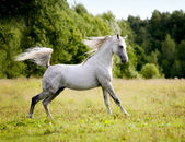 Beautiful arab stallion — Stock Photo