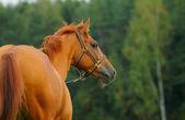Horse nature — ストック写真