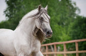 Andalusian horse in movement — Stock Photo