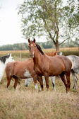 Horses in prairies — Stock Photo