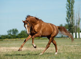 Stallion run — Foto de Stock