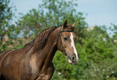 Chestnut stallion — Stock Photo