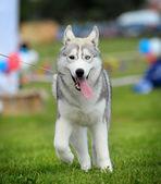 Husky — Stock Photo