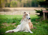 Russian borzoi dogs — Stock Photo