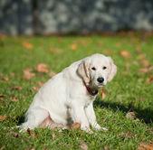 Cucciolo di retriever — Foto Stock