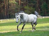 Arab stallion — Stock Photo
