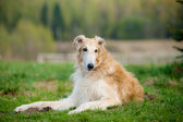 Russian borzoi dog — Stock Photo