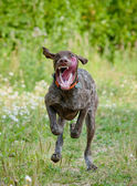 Dog runs fast — Stock Photo
