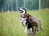 Young short-haired german pointer and siberian husky  — Stock Photo