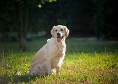 Golden retriever — Stok fotoğraf