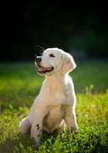 Golden retriever yavru — Stok fotoğraf
