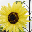 Yellow sunflower close-up — Stock Photo #12335755