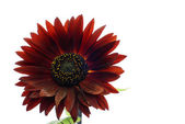 Decorative red sunflower isolated on white — Stock Photo