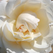 Royalty-Free Stock Photo: White rose closeup