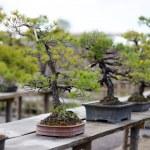 Row of bonsai trees — Stock Photo #13725110
