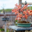 Red bonsai tree — Stock Photo