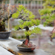 Row of bonsai trees — Stock Photo