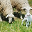 A lamb in Italian fields — Stock Photo