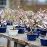 Row of bonsai trees — Stock Photo #13726055
