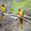 Blue and gold macaw parrots — Stock Photo