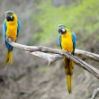 Blue and gold macaw parrots — Stock Photo #13726931