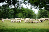 Herd on sheep in Italy — Stock Photo