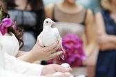 A white dove at bride's hands — Stockfoto