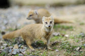 Close-up of a yellow mongoose — Stock Photo