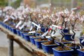 Row of bonsai trees — Stock Photo