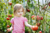 Adorable girl picking tomatoes in a garden — Stock Photo