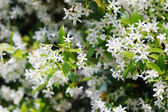 Close up of jasmine bush — Stock Photo