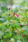 Red raspberries on the branch — Stock Photo