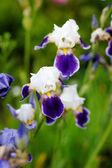 íris em um jardim em flor — Foto Stock