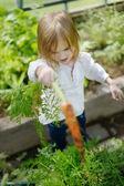 Adorable girl picking carrots in a garden — Stock Photo
