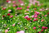 Campo de flores de la margarita — Foto de Stock