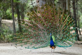 A peacock displaying his plumage — Stock Photo